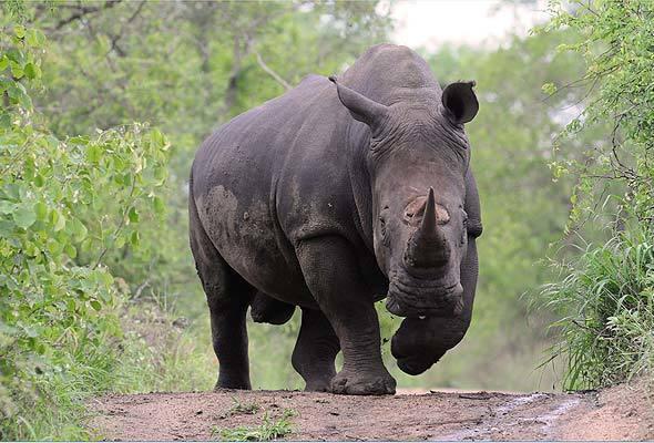 1-white-rhino-gc590a