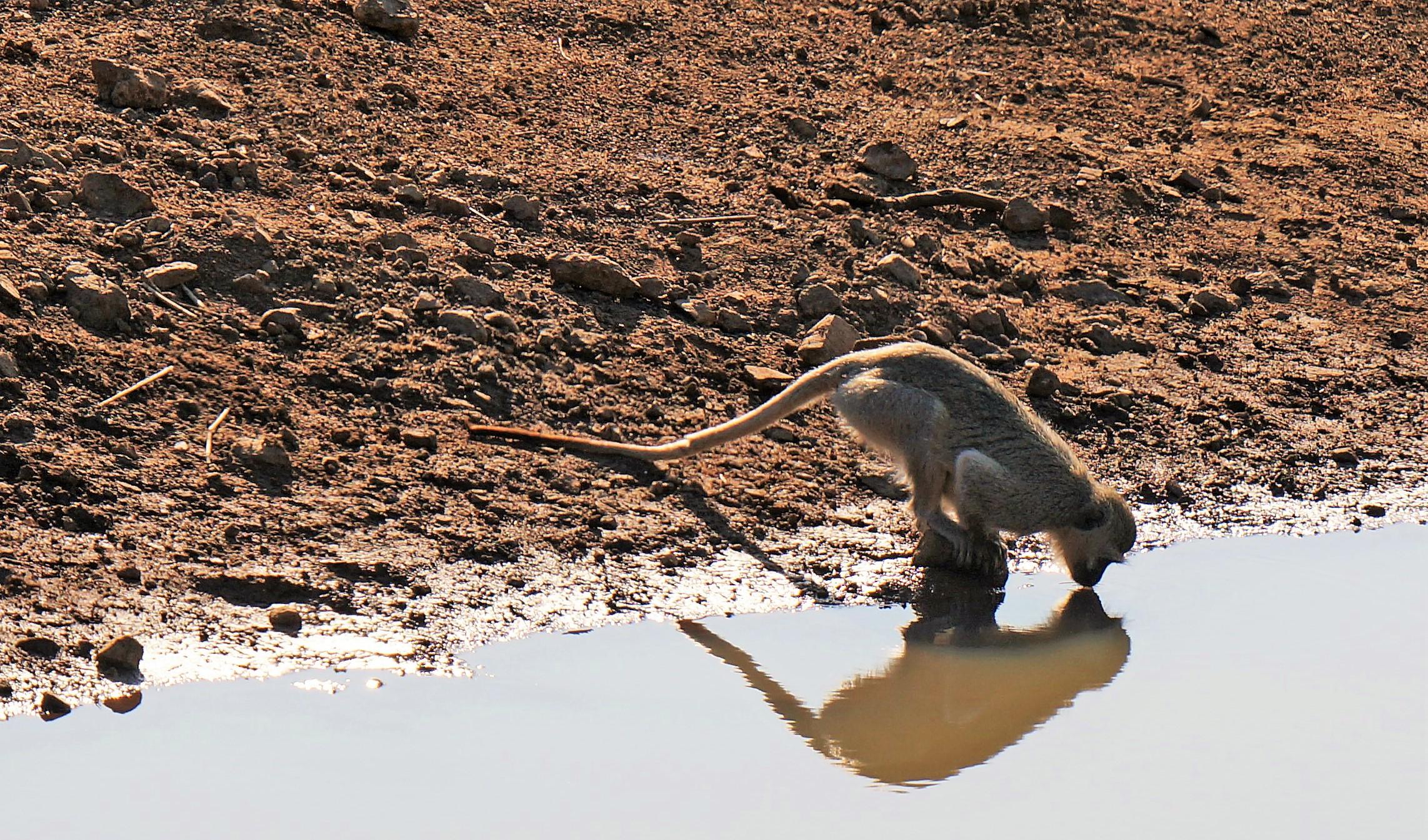 monkey drinking (2)