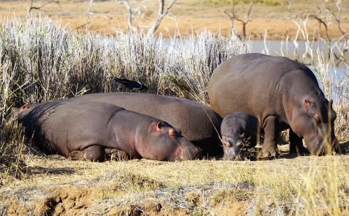 three hippos (2)