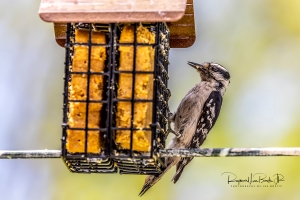 Female Downy Woodpecker