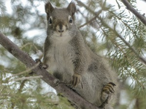 squirrel-300246_1280